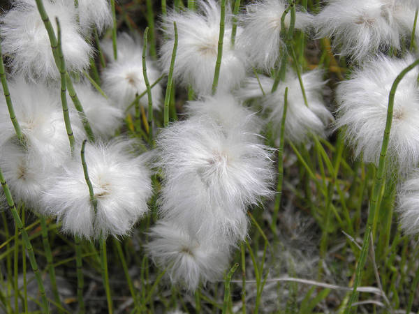 Photograph - Cottongrass by Fran Riley