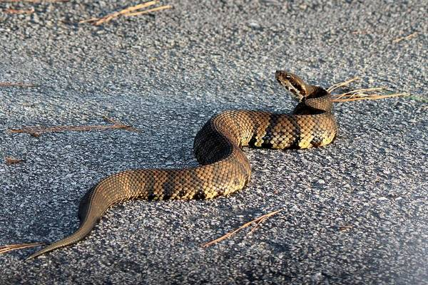 Photograph - Cottonmouth Full Body by Cynthia Guinn