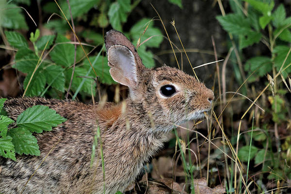 Photograph - Cottontail Bunny Breakfast by Sheila Brown