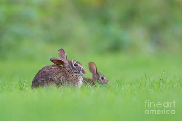 Sylvilagus Floridanus Photograph - Cottontail Family by Mircea Costina Photography