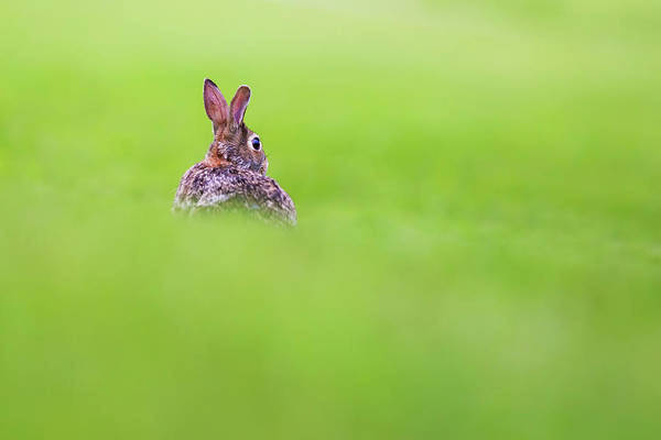 Cottontail Photograph - Cottontail In Green by Mircea Costina Photography