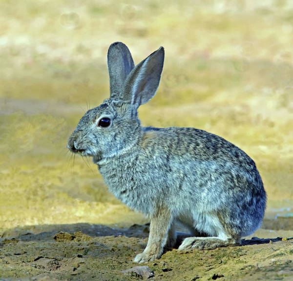 Photograph - Cottontail Rabbit 1472-052218-1cr by Tam Ryan