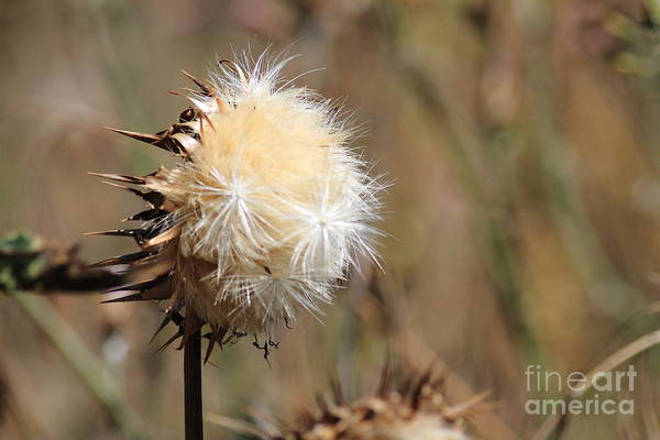 Photograph - Cottonweed . 7d1334 by Wingsdomain Art and Photography