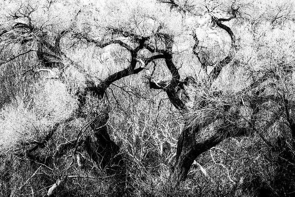 Photograph - Cottonwood In Spring Bw by Belinda Greb