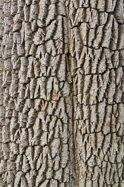 Photograph - Cottonwood Tree Texture Print by James BO Insogna