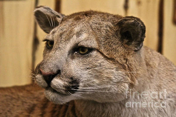 Photograph - Cougar by Ann E Robson
