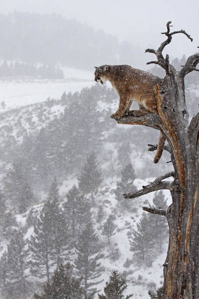 Cougar Photograph - Cougar Calling In Tree by Jenny Hibbert