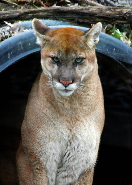 Nfs Photograph - Cougar by Daniel Caracappa