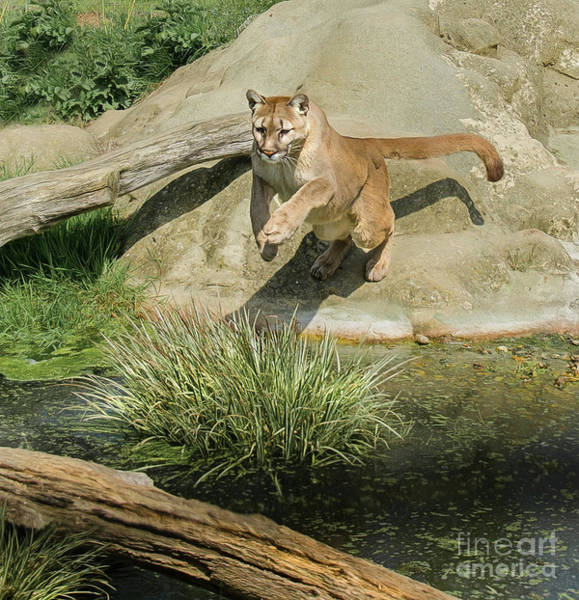 Photograph - Cougar Jumping Across A Stream by Brian Tarr