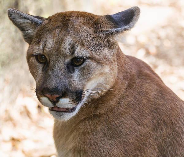 Digital Art - Cougar Portrait by Chris Flees