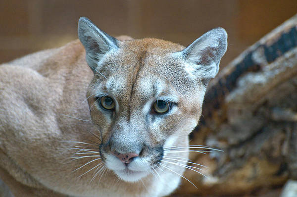Photograph - Cougar by Richard Henne