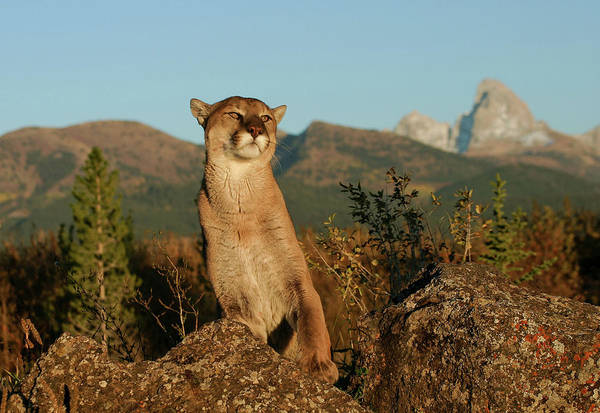 Photograph - Cougar by Ronnie and Frances Howard