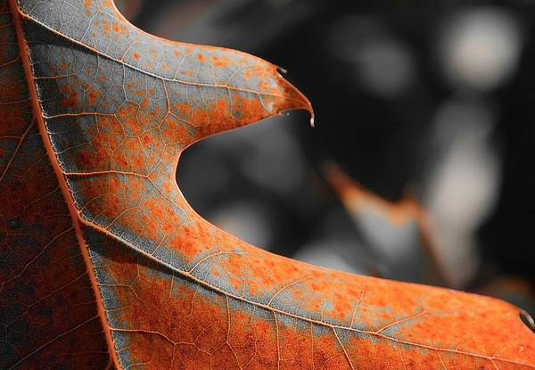 Photograph - Cougar Rusty Leaf Detail by Jerry Sodorff
