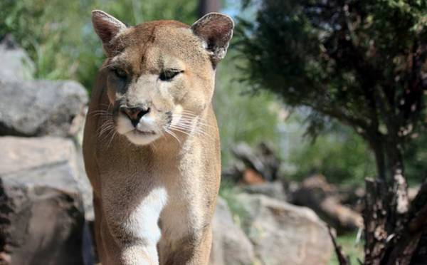 Photograph - Cougar by Sheila Brown