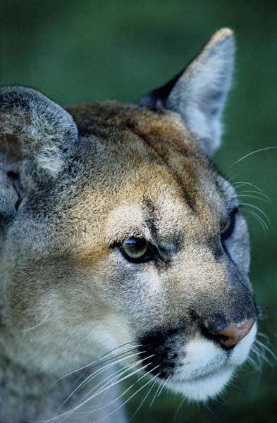 Photograph - Cougar by Steve Somerville