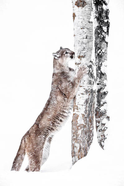 Photograph - Cougars Tree by Wes and Dotty Weber