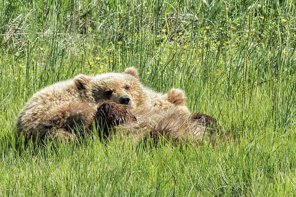 Photograph - Counting Salmon - Bear Cubs, No. 3 by Belinda Greb