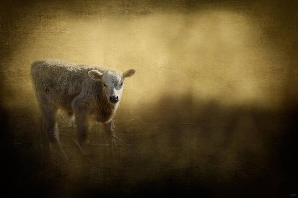 Photograph - Country Calf by Jai Johnson