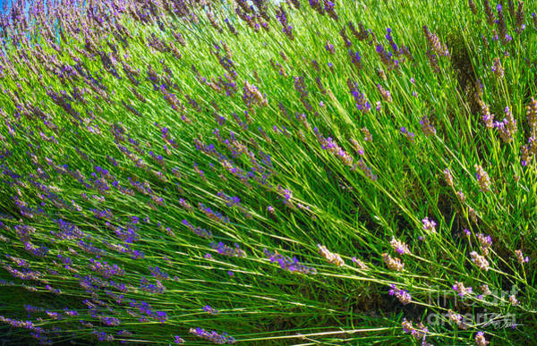 Photograph - Country Lavender Vi by Shari Warren