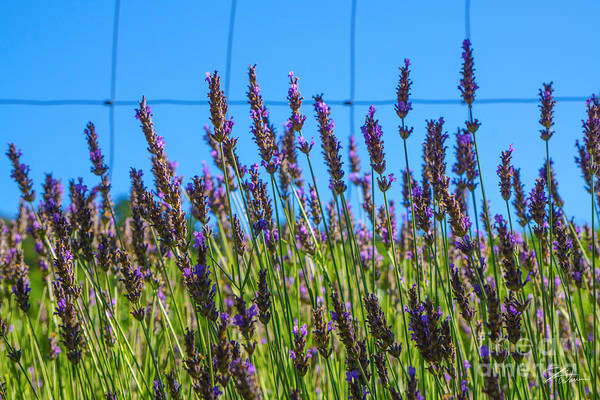 Photograph - Country Lavender Vii by Shari Warren
