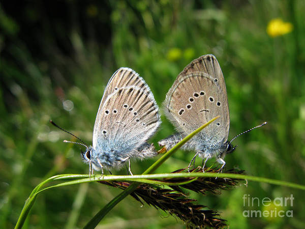 Photograph - Couple Of Butterflies 5064 by Murielle Sunier