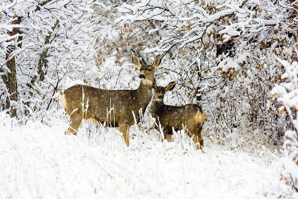 Photograph - Couple Of Doe Mule Deer In Snow by Steve Krull
