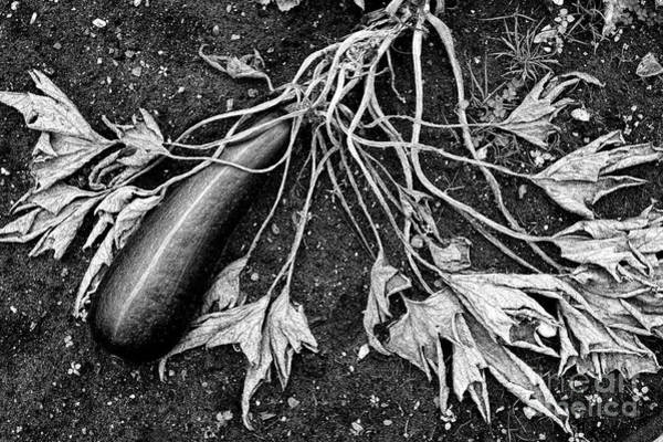 Vegetable Patch Wall Art - Photograph - Courgette Parthenon Monochrome by Tim Gainey