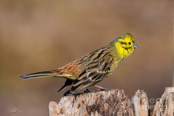 Wing Back Photograph - Courting Step by Torbjorn Swenelius