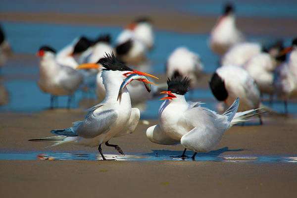 Elegant Tern Wall Art - Photograph - Courtship by Brian Knott Photography