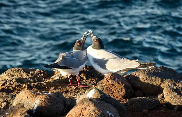 North Seymour Island Photograph - Courtship Conversation by Jane Selverstone