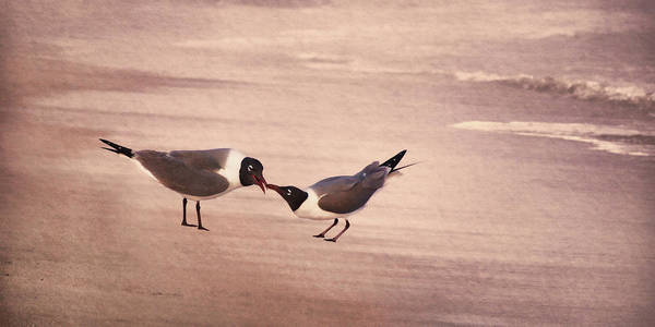 Photograph - Courtship Dance Of The Laughing Gull by Leda Robertson