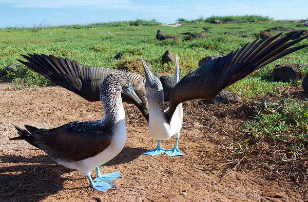 North Seymour Island Photograph - Courtship Of The Blue-footed Boobies by Jane Selverstone