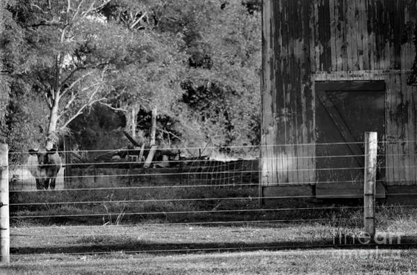 Photograph - Cow And Barn Black And White by Karen Adams
