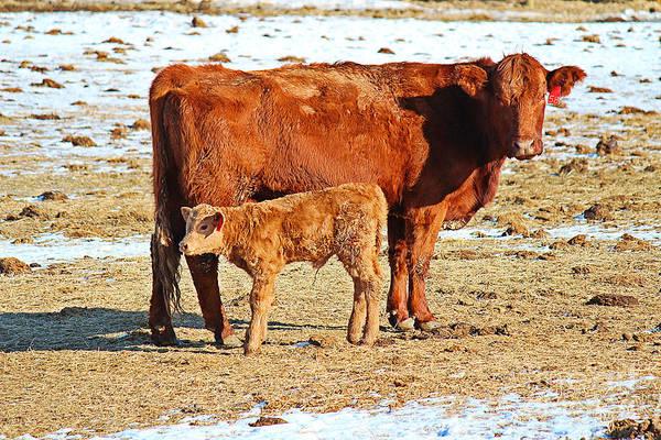 Photograph - Cow And Calf by Ann E Robson
