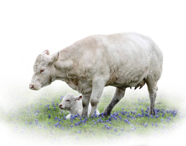 Texas Bluebonnet Photograph - Cow And Calf by David and Carol Kelly