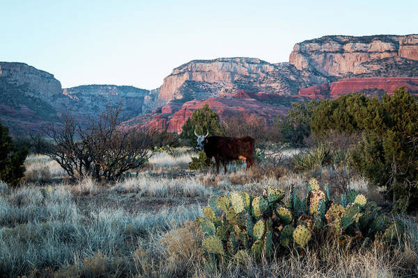 Photograph - Cow At Red Rock by Susie Weaver