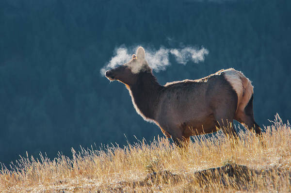 Photograph - Cow Elk With Steamy Breath by Mark Miller
