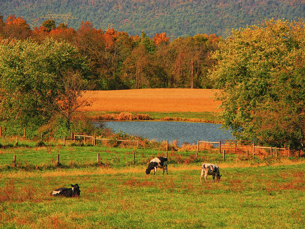 Photograph - Cow Farm On The At by Raymond Salani III
