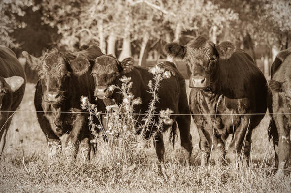 Photograph - Cow Fence by James  Meyer