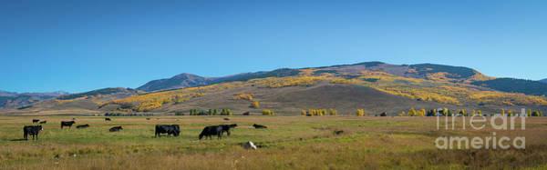 Photograph - Cow Grazing In Colorado Pano by Michael Ver Sprill