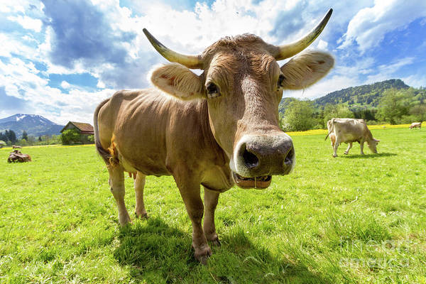 Farm Animals Photograph - Cow In Meadow by MGL Meiklejohn Graphics Licensing