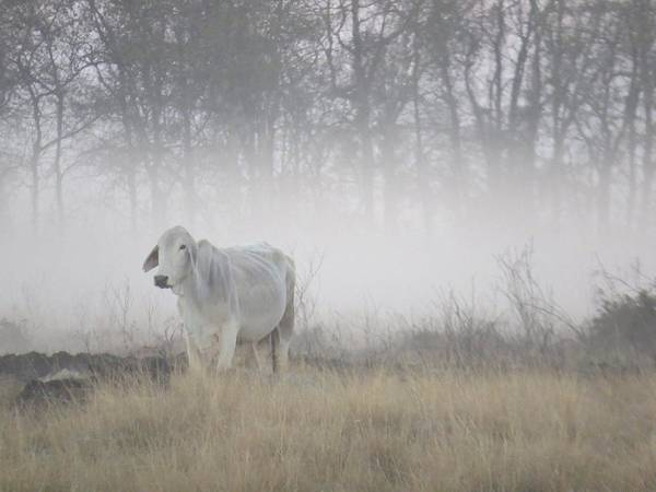 Wall Art - Photograph - Cow In The Mist by Betty Berard