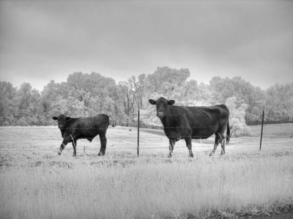 Linder Wall Art - Photograph - Cow  by Jane Linders