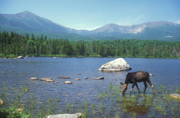 Baxter State Park Photograph - Cow Moose And Mount Katahdin by John Burk
