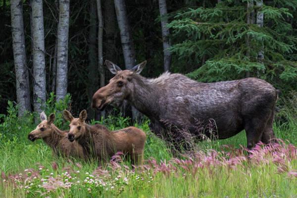 Cow Moose And Twin Calves Art Print