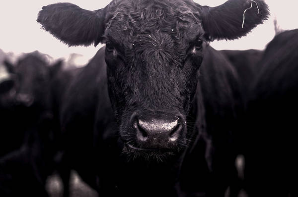 Photograph - Cow Nose by Susan Maxwell Schmidt
