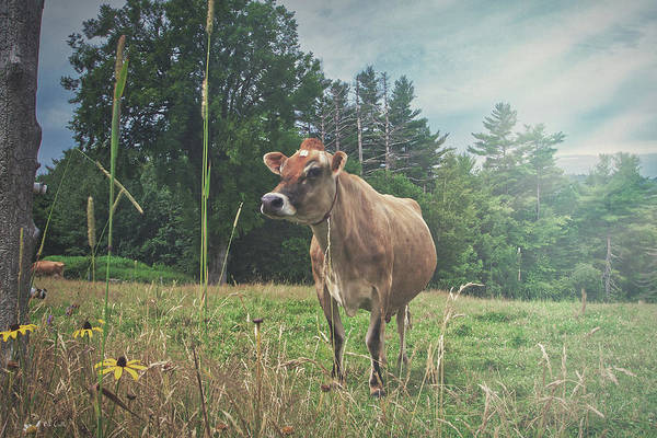 Photograph - Cow On The Hill by Bob Orsillo