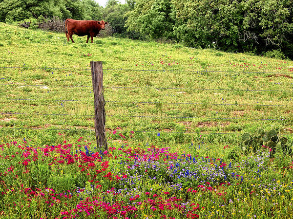 Photograph - Cow Overloking Wildflowers by Charles McKelroy