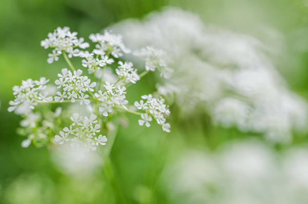 Wild Chervil Wall Art - Photograph - Cow Parsley Clouds by Mo Barton