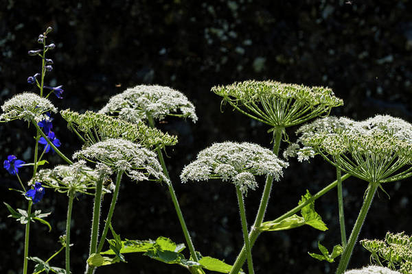 Photograph - Cow Parsnip And Larkspur by Robert Potts
